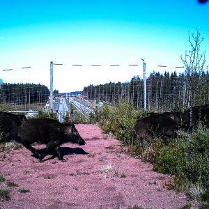 Vildsvin springer över viltbro.