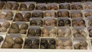 Många olika ägg i askar uppställda.