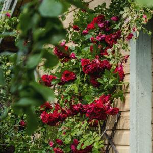 Ljusgul trästuga med starkt rosa rosor som klänger längs gaveln.