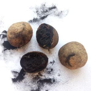 Anja hittade dessa knölar i marken då en stubbe avlägsnades. Är det tryffel?