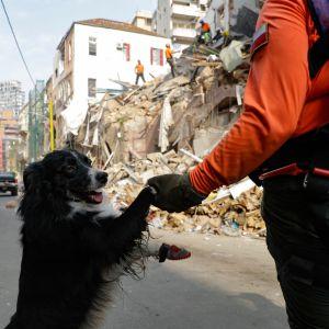 Sökhund som letar efter överlevande i Beiruts rasmassor.