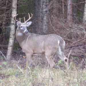 En hjortbock, vitsvanhjort i höstlandskap. Mycket ris runt hjorten som har horn med åtta taggar.