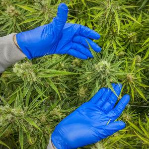 Marijuanaplantor som växer i ett växthus i Markham, Kanada. Händer med blåa plasthandskar håller i en av växterna.