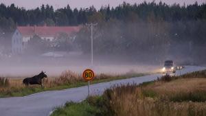 En älg springer är på väg upp på en väg. En bil kommer körande en bit i från.