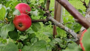 Rött äppel i träd
