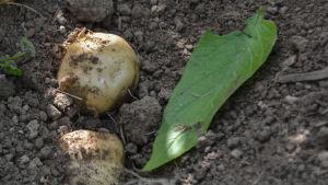 Potatisesorten Timo i framgrävd i potatislandet