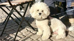 Liten vit hund sitter vid husses fötter på torgcafé.