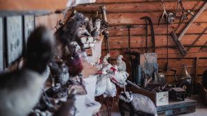 Utställning med uppstoppade fåglar på hyllor samt verktyg och djurskinn på väggarna.