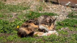 En katt ligger på gräset i solsken.