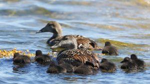 Ejderpar med en drös ungar som simmar i vatten. Ejdern är en brun fågel.