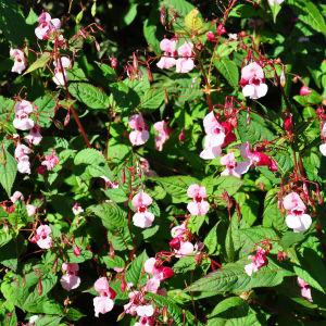 Rosa blommor och gröna blad.