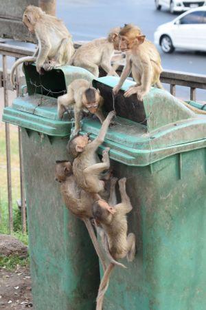 Ungar försöker komma åt matrester också från soptunnor. Många apors hälsa skadas när de äter människoföda.