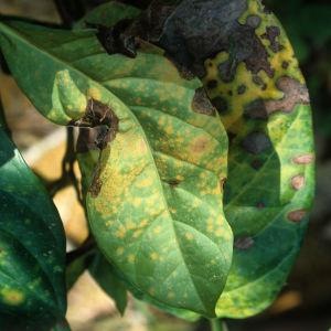 Kaffebuske med svampsjukdomen kaffebladsrost.