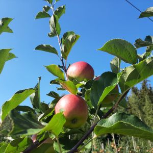 Två röda äpplen hänger i ett träd.