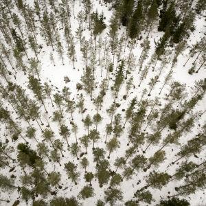 Skog fotograferad uppifrån luften under vintern.