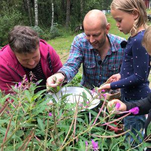 Michael Björklund, Matias Jungar och barnen Emelie och Arvid Munsterhjelm står och plockar mjölke.
