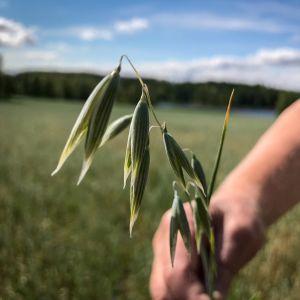 Luomukauran korsi viljelijän kädessä