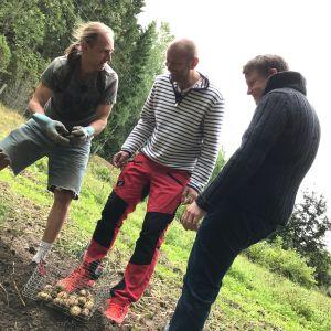 Henrik Nordström står i potatislandet tillsammans med Matias Jungar och Michael Björklund.