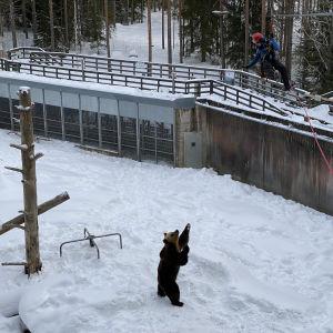 Karhu seisoo kahdella tassulla ja katselee ylös vaijerissa turvavaljaissa roikkuvaa ihmistä.