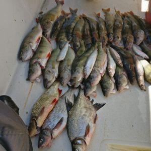 Fiskefångst på durken i en liten båt. Abborre, strömming, braxen och sarv.