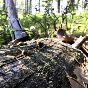 Ett murket träd ligger i skogen, små svampar och lave på ytan. Solen skiner. Sommar och grönt i bakgrunden.