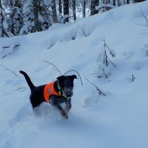 Koira juoksee lumihangessa.