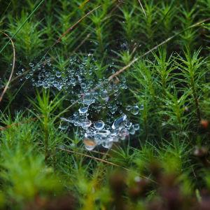 Vattendroppar i spindelnät i mossa.
