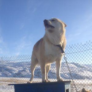 Hundar på Grönland.