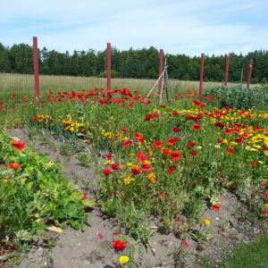 Ett trädgårdsland med blommor och nyttoväxter.