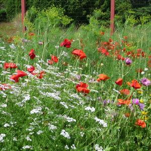 en blomsteräng med bland annat vallmo och ringblomma