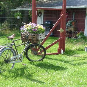 En gammal cykel fungerar bra som trädgårdsprydnad och cykelkorgen som blomlåda