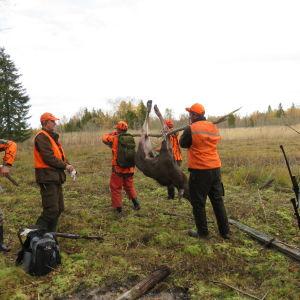 jägare bär på skjuten älgkalv
