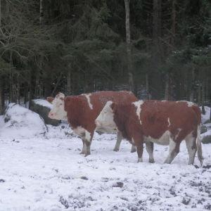 Utegående köttboskap vid Thomas Snellmans gård i Karby