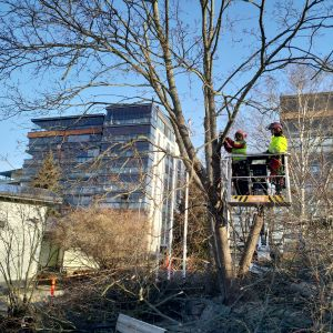 Kaksi henkilöä karsii oksia puista.