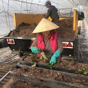 Nainen ja mies istuttavat mansikoita kasvihuoneessa.
