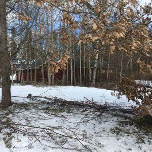 Två ekar i olika skeden av att tappa blad. Trädet till vänster har tappat sina, trädet till höger har ännu bruna blad i grenarna.