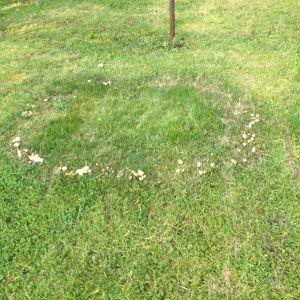 En ring med svampar på gräsmatta.