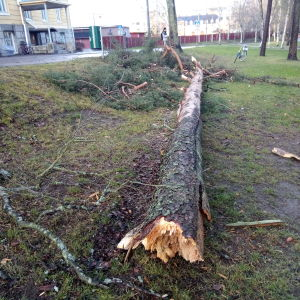 Marraskuun 2020 Liisa-myrsky katkaisi männyn Marianpuistossa Tampereen keskustassa.