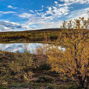 Tunturimaisemaa ruska-aikaan, etualalla koivu, jossa keltaiset lehdet, taustalla tunturia, sininen taivas jolla valkoisia pilviä, heijastuu lampeen
