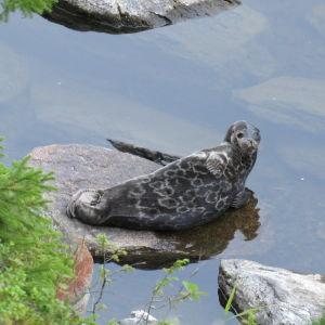 En saimenvikare ligger på en sten ivattenbrynet.