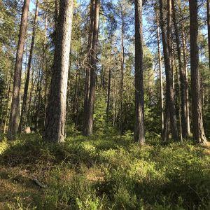 Ulvilan Massin metsää ja luonnonsuojelualuetta.