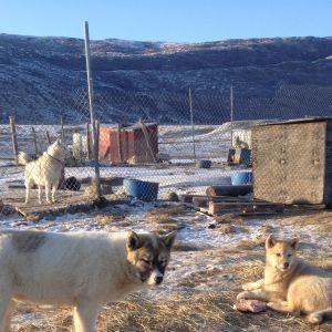 Hundar i en hundgård på Grönland.