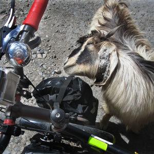 Vuohi tervehtii pyöräilijää