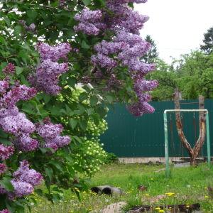 En violett syren blommar på gården till en datja. I bakgrunden ett grönt stängsel och en grön gungställning. Den här syrenen blommar på en tomt utan stuga, stugan brann ned för en tid seda
