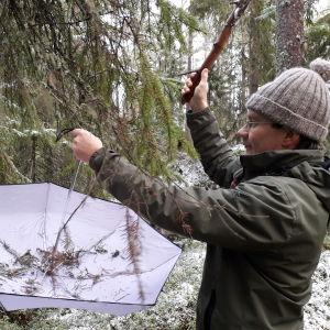 Niclas Fritzén tar ett paraply till hjälp när han ska undersöka vilka småkryp som håller till i granen.