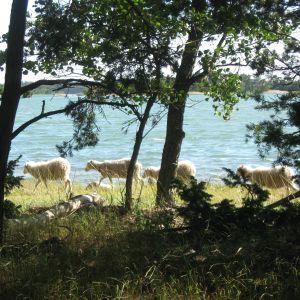 Får betar på Äspskär, Iniö skärgård (Pargas), augusti 2016.