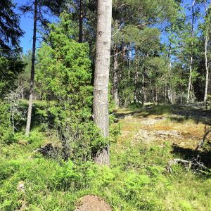 Skog med löv- och barrträd, det syns lite berg och blå himmel. Sol, sommar.
