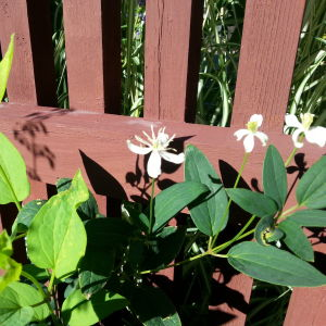 En ranka styvklematis med vita blommor mot rödbrunt staket