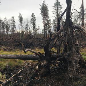 En tall med svarta trädrötter ligger på marken i bränd skog.