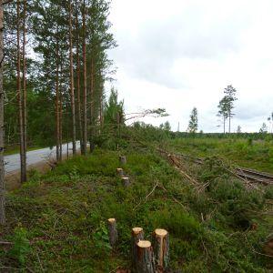 Avsågade tallar mellan Hangöbanan och gamla Ekenäsvägen i Karis.